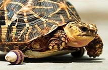Rùa cụt chân bò nhanh hơn đồng loại nhờ gắn bánh xe