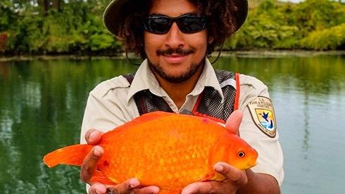 Bắt được cá vàng khổng lồ hơn 35 cm ở nơi khó tin