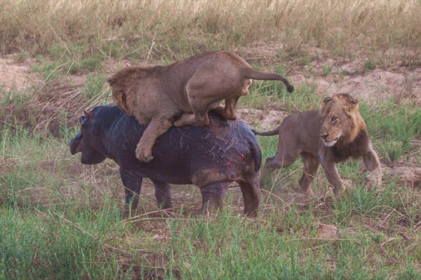 """Hai con sư tử """"truy cùng diệt tận"""" chú hà mã"""