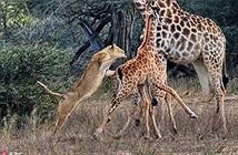 Hươu cao cổ bất lực nhìn sư tử giết hại con
