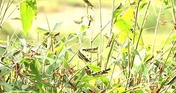 """Bão """"châu chấu"""" tàn phá cây trồng tại huyện vùng cao Thanh Hóa"""