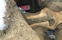 Hộp sọ voi ma mút 13.000 năm tuổi ở Mỹ