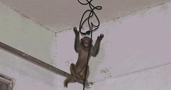 Khỉ hoang tập kích vào nhà, dân sợ hãi chạy toán loạn