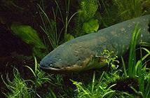Giải mã cơ chế phóng điện giết con mồi của thủy quái Amazon