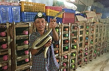 Đến nơi có đàn rắn độc hơn 1.000 con, dài cả mét