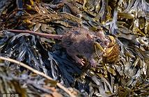 Độc đáo chuột nhỏ chui hang săn cua cải thiện bữa ăn