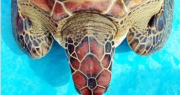 Bắt được rùa quý hiếm, ngư dân Nghệ An tặng người khác chăm nuôi