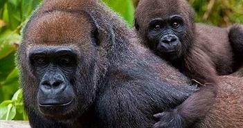 Thông tin về loài động vật có bộ gen giống người đến hơn 98%