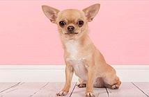 Điểm danh những giống chó bé hạt tiêu nhất thế giới