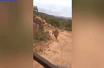 Du khách sợ chết khiếp khi bị sư tử đuổi theo đòi vồ