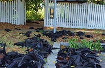 5.000 con dơi đột ngột chết nhuộm đen mặt đất