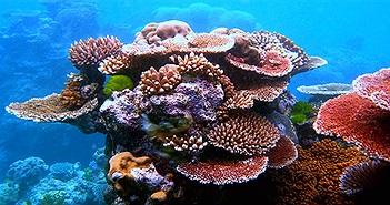 Florida Keys vô tình tìm ra cách tái tạo san hô nhanh gấp 40 lần môi trường tự nhiên
