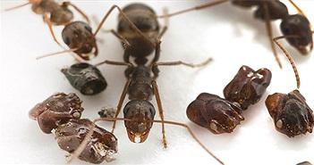 """Kì dị loài kiến thích """"sưu tầm"""" đầu loài kiến khác để… trang trí tổ"""