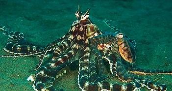 Lý do bạch tuộc được ghi danh sinh vật quái dị nhất hành tinh?
