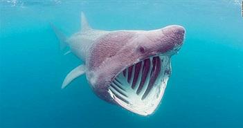 Cá nhám phơi nắng biến mất 3 năm rồi xuất hiện ở đầu kia Đại Tây Dương