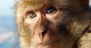 Các nhà khoa học nói khỉ có thể nói được như người