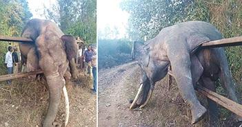 Lẻn ăn trộm, voi khổng lồ mắc kẹt chết đau đớn