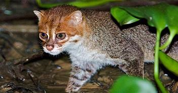 Cực hiếm ảnh mèo hoang đầu phẳng xuất hiện