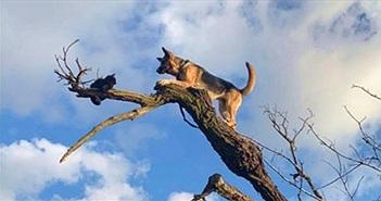 Chó mắc kẹt trên ngọn cây vì ham đuổi mèo