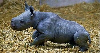 Tê giác đen cực kỳ nguy cấp chào đời tại sở thú Pháp