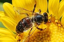 Nếu loài ong tuyệt chủng, cả thế giới sẽ bị đói