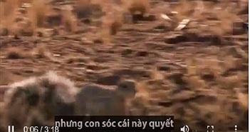 Video: Cầy mangut giúp sóc đối phó rắn hổ mang chúa