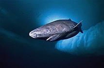 Cá mập Greenland: Chìa khóa cho sự trường thọ của nhân loại trong tương lai?