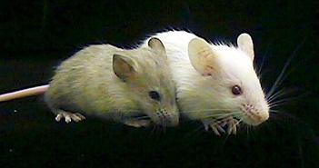 Tế bào não người được cấy thành công vào chuột