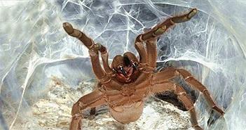Phát hiện tác dụng bất ngờ từ nọc của loài nhện siêu độc