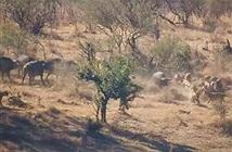 Đàn trâu rừng hợp sức đánh đuổi sư tử cứu đồng loại