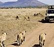 Trâu rừng đơn độc thoát chết trước bầy sư tử