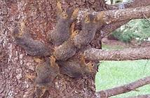 Sáucon sóc bị buộc đuôi vào nhau, giống hệtVua Chuột trong lịch sử loài người