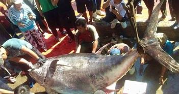 Bắt được cá ngừ vây vàng khổng lồ nhất ở Trường Sa