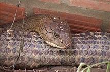 Bộ Nông nghiệp nói gì về cặp rắn khủng núi Cấm?