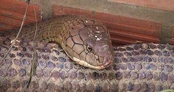 """Bộ Nông nghiệp nói gì về cặp rắn """"khủng"""" núi Cấm?"""