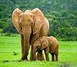 Tấn công voi con, dân làng hứng nộ khí từ voi mẹ