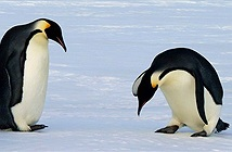 Tại sao bàn chân của chim cánh cụt không bị lạnh?