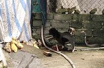 Gà mẹ tung liên hoàn cước tát thẳng mặt rắn hổ mang để bảo vệ đàn con
