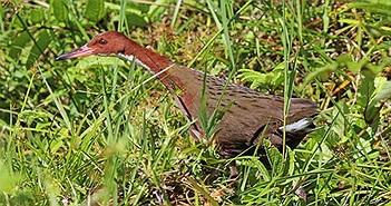Loài chim cổ đại đã tuyệt chủng hồi sinh từ cõi chết