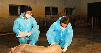 Phòng chống dịch tả lợn châu Phi: Đâu là giải pháp bền vững?