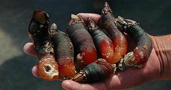 Ngón tay quỷ và loạt đặc sản biển hình dạng kỳ dị