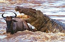 """Clip: Bầy cá sấu """"tàn sát"""" linh dương đầu bò"""