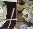 Kinh hoàng một loạt trang trại nuôi sư tử để giết lấy xương