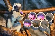 Soi khỉ sóc đầu bông, có bộ tóc hệt như Khá Bảnh