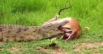 Video: Kẹt trong hàm cá sấu, linh dưỡng vẫn phản đòn và thoát chết kỳ diệu