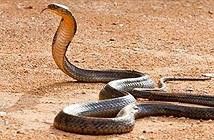Nọc độc của rắn hổ mang chúa mạnh như thế nào?