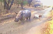 Tê giác con hoang tưởng mình là... cừu