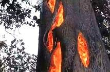 Hiện tượng lạ: Lửa cháy ngùn ngụt từ bên trong thân cây