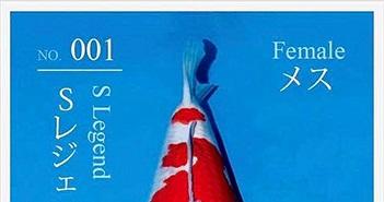 """Tiết lộ lý do cá Koi """"Huyền thoại"""" có giá 42 tỷ đồng"""
