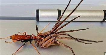 Ghê rợn cảnh ong bắp cày xơi tái nhện khổng lồ